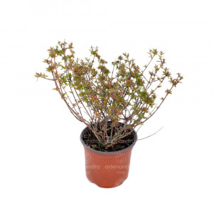 Abelia Grandiflora, h 35-40 cm, verde-rosu