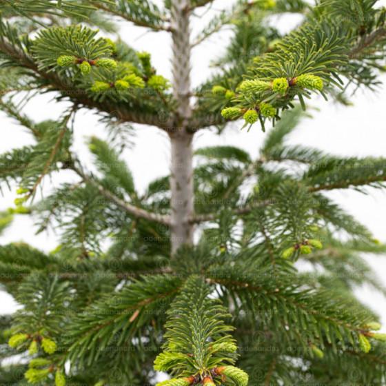 Abies Nordmanniana, Brad nordmanian, h 125-150 cm, verde (brad de Caucaz)