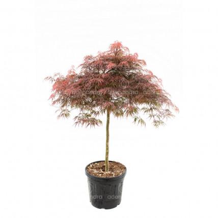 Acer Palmatum Dissectum Inaba Shidare, h 120-140 cm, rosu (artar japonez)