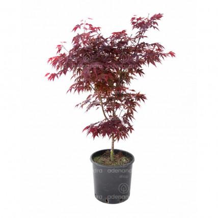 Acer Palmatum Fireglow, Artar, h 70-80 cm, rosu (artar japonez)