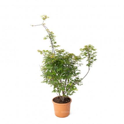 Acer Palmatum Osakazuki, h 100-125 cm, verde, (artar japonez)