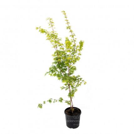 Acer Palmatum Sangokaku, h 125-150 cm, verde-galben, (artar japonez)