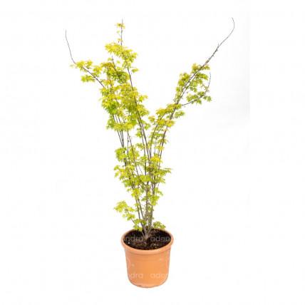 Acer Palmatum Summer Gold, h 100-125 cm, galben, (Artar japonez)