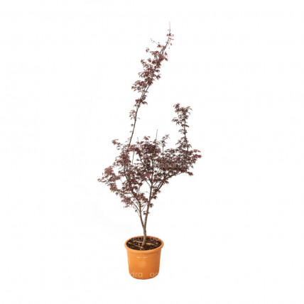 Acer Palmatum Bloodgood, h 125-150 cm, rosu  (artar japonez)