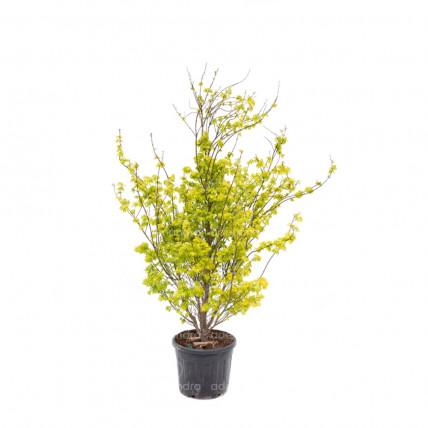 Acer Palmatum Summer Gold, h 150-175 cm, galben, (artar japonez)