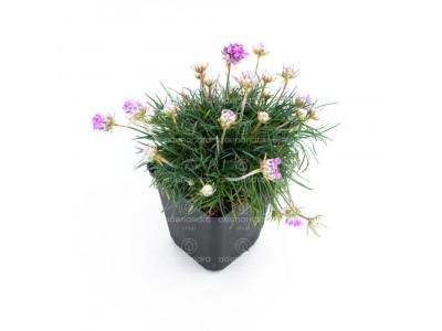 Armeria Roschen, mov (planta perena)