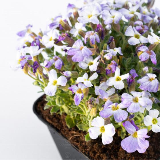 Aubrieta Cultorum, alb-mov (Planta perena)