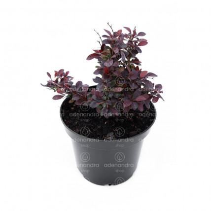 Berberis Atropurpurea Nana, h 20-40 cm, rosu