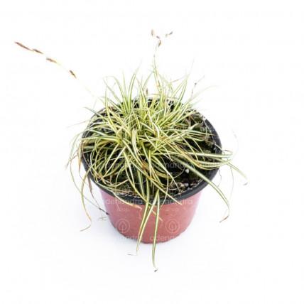 Carex Evergold, galben-verde (Iarba ornamentala)