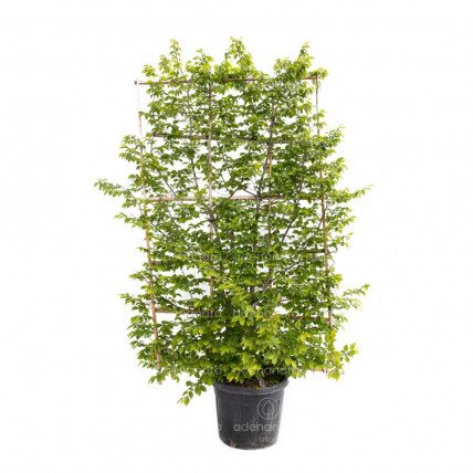 Carpinus Betulus Pyramidalis Spalliera, Carpen Spalier, h 250*150, verde