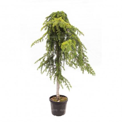 Cedrus Deodara Pendula, Cedru pendular, h 180-200 cm, circ.12-14 cm, verde