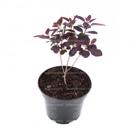 Cotinus Royal Purple, h 20-40 cm, rosu-purpuriu