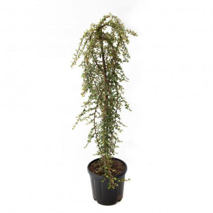 Cotoneaster Dammeri Winter Jewel pe Tulpina, h 80-100cm, verde