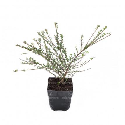 Cotoneaster Horizontalis, h 20-40 cm, verde