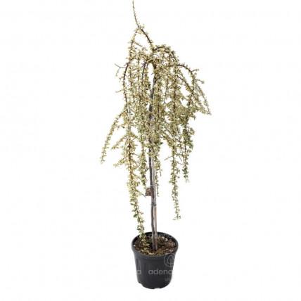 Cotoneaster Suecicus Juliette pe Tulpina, h 80-100 cm, verde-alb