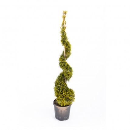 Cupressocyparis Leylandii Castlewellan Gold Spirale, Chiparos, h 160-180 cm, galben