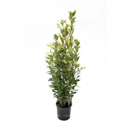 Laurus Nobilis, Dafin, h 60-70 cm, verde