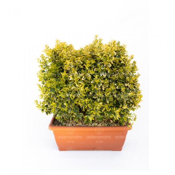Euonymus Japonicum Elegant. Aureus Aureomarginata in Jardiniera, verde-galben