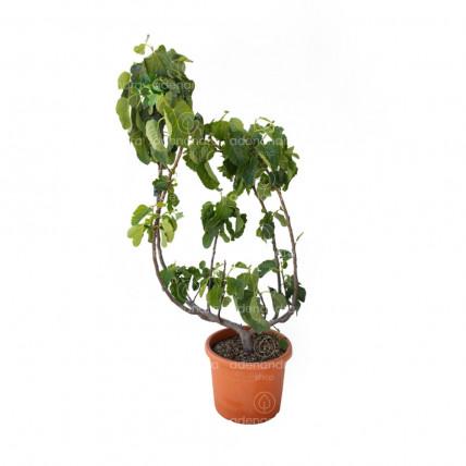 Ficus Carica, Smochin tufa, h 60-80 cm