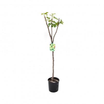 Ficus Carica Mix, pe tulpina, h 125-150 cm