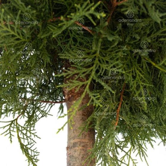 Juniperus Sab. Tamariscifolia pe Tulpina, h 120-140 cm, verde