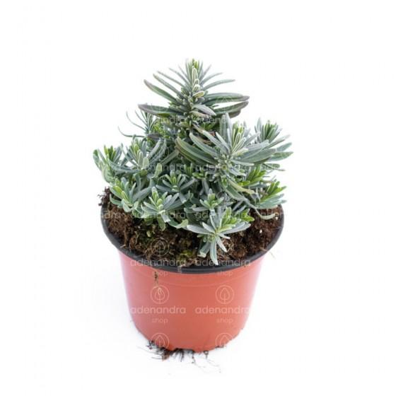 Lavanda Angustifolia, h 30 cm, mov