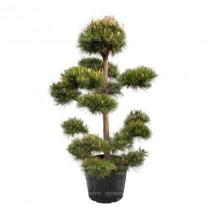 Pinus Nigra Austriaca Bonsai, h 180-200 cm, verde