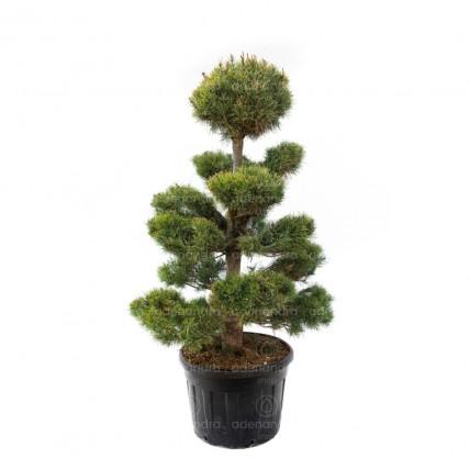 Pinus Sylvestris Bonsai, h 180-200 cm, verde