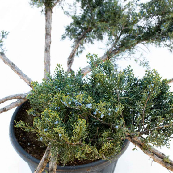 Juniperus Virg. Grey Owl, h 100-120 cm, Bonsai