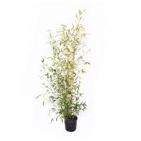 Bambusa Phyllos Aurea, h 150-200, verde