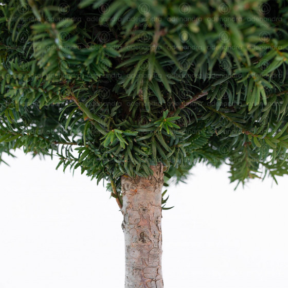 Taxus Baccata, h 40-45cm, pe tulpina