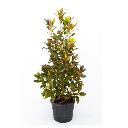 Magnolia Grandiflora Gallissoniensis, h 175-200 cm