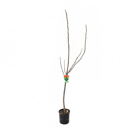 Ficus Carica pe tulpina h 120-140 cm, smochin, verde