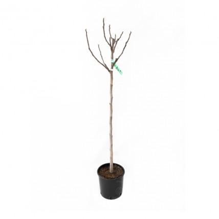 Ficus Carica 'Brogiotto Nero' pe tulpina, smochin, h 120-140 cm, negru