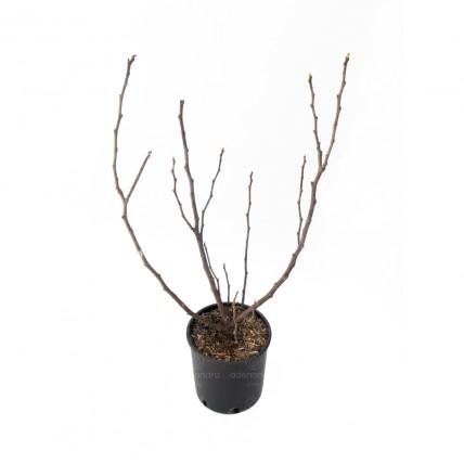 Ficus Carica Violette Dauphine, Smochin, h 80-100 cm