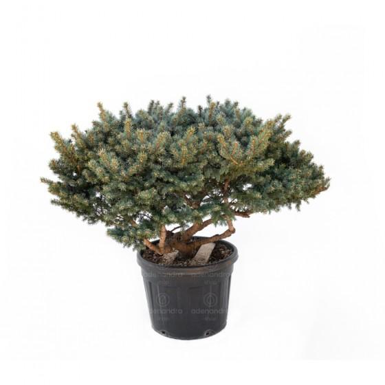 Picea Pungens Fat Albert, h 80-100 cm, Multistem