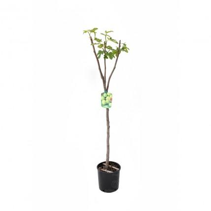 Ficus Carica Bro. Bianco pe Tulpina
