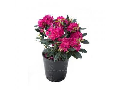 Rhododendron Hybridum, h 35-40 cm, mov