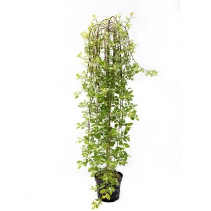 Salix Caprea Pendula, Salcie plangatoare, h 150 cm, verde