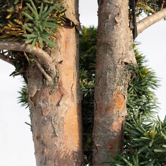 Taxus Baccata Bonsai, Tisa, h 150-175 cm, verde