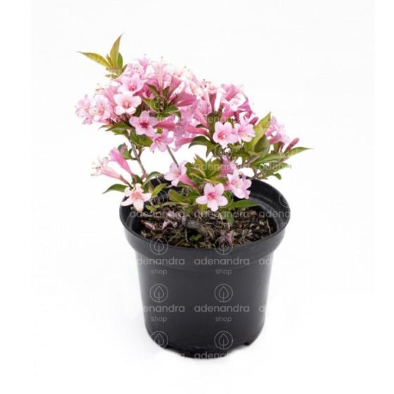 Weigela Pink Poppet, h 20-40 cm, roz