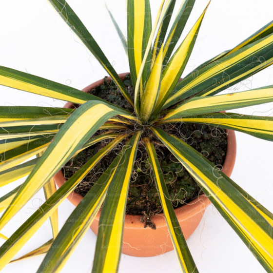 Yucca Filamentosa, h 20-30 cm, verde-galben